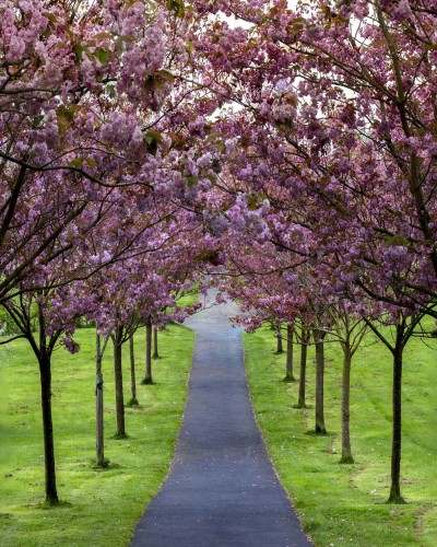 An avenue of Cherry blossom in Plymouth