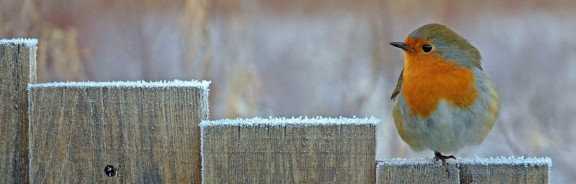 Robin sitting on a frosty fence in Devon