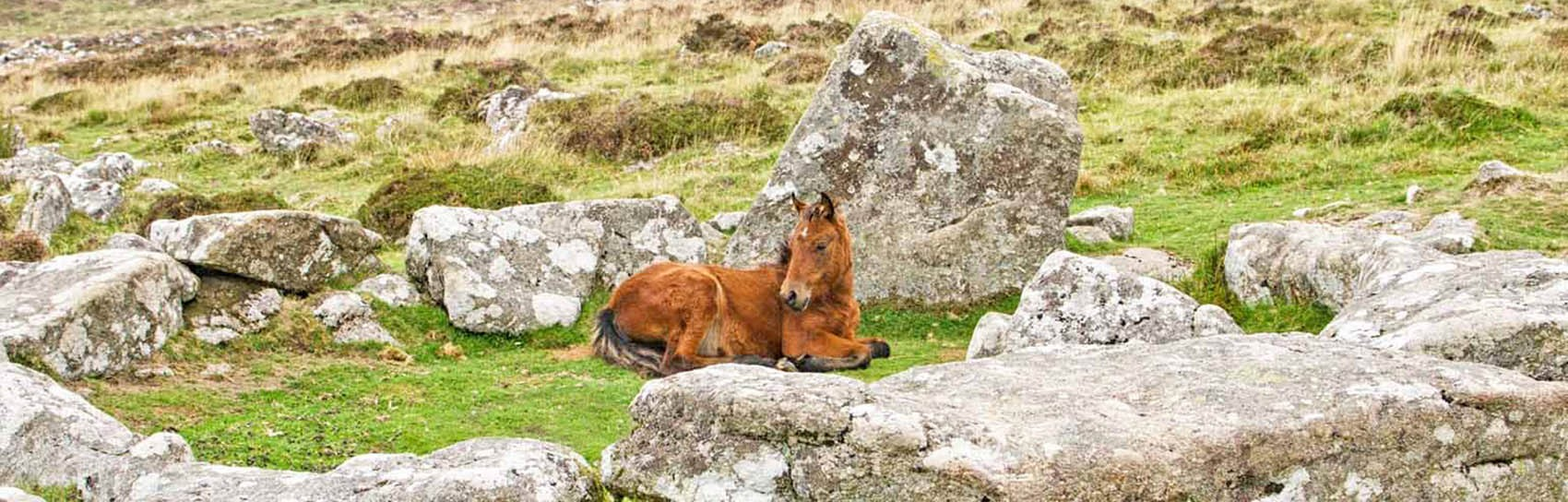 A Dartmoor Pony in a Bronze Age hut at Grimspound. Photograph by ALEX GRAEME