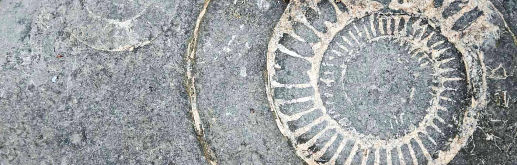 An ammonite fossil at Charmouth in Dorset. Photograph by ALEX GRAEME